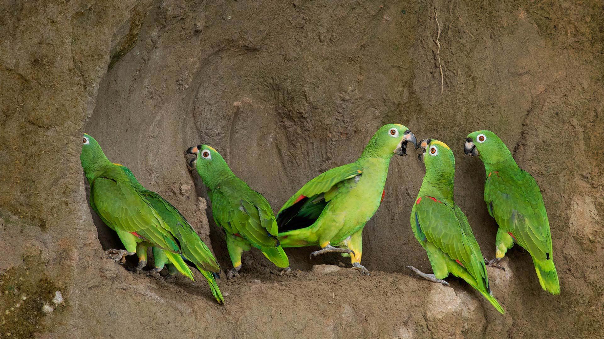 five amazon parrots
